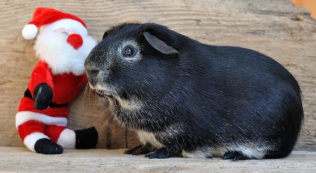 Geschenkideen Weihnachten Meerschweinchen