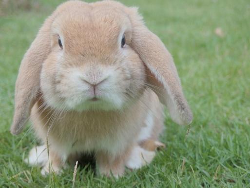Kaninchen Hängeohr