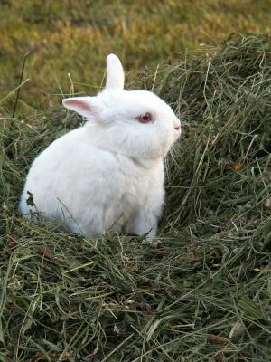 Kaninchen im Heu