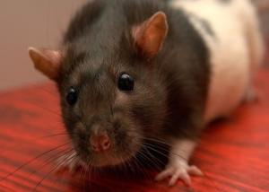 Nagerkäfig Ratte