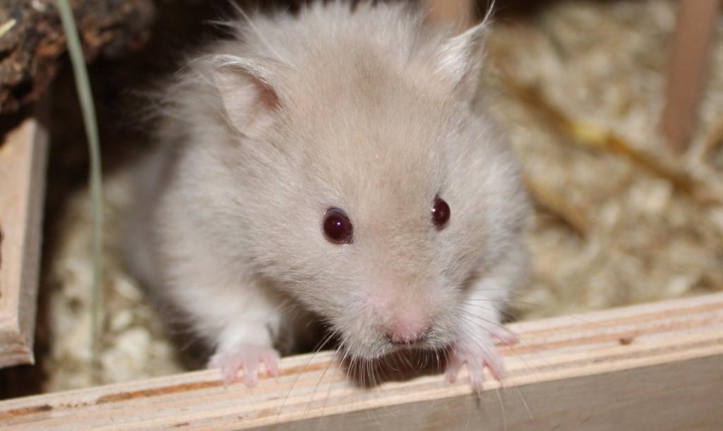 Augenkrankheiten beim Hamster