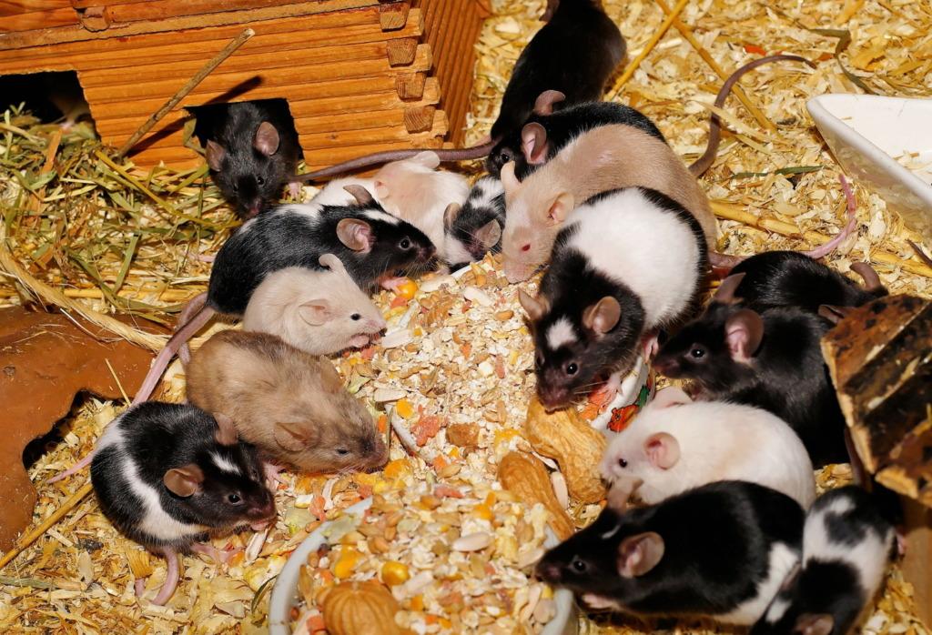 Mäuseart Farbmaus als Haustier