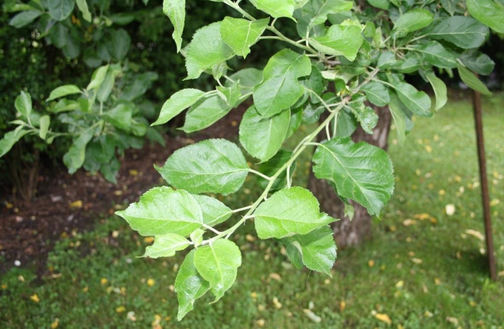 Frischer Zweig vom Apfelbaum