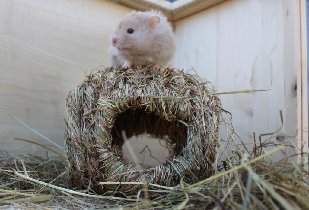 Hamster klettert auf Grasnest