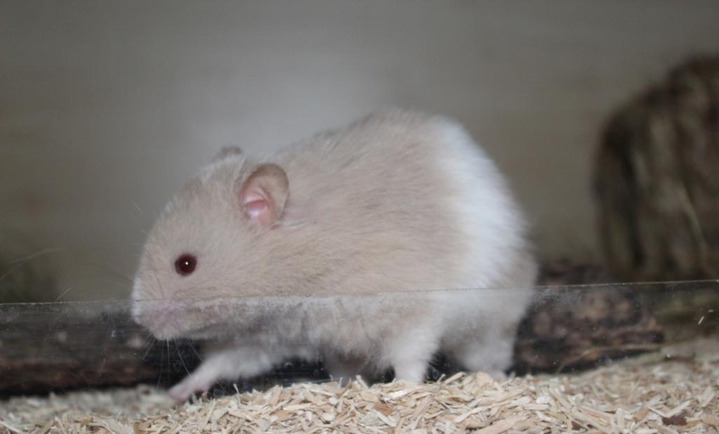 Langeweile beim Hamster