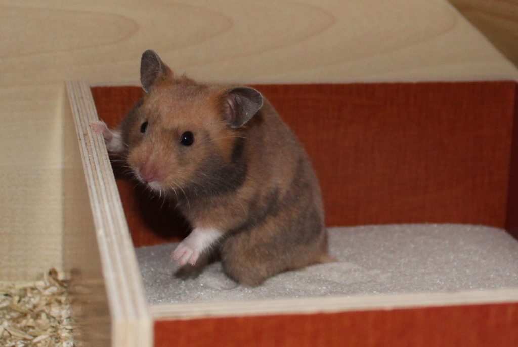 Hamster im Sandbad
