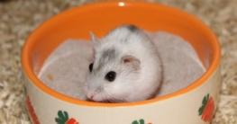 Hamster Sandbad mit Zwerghamster
