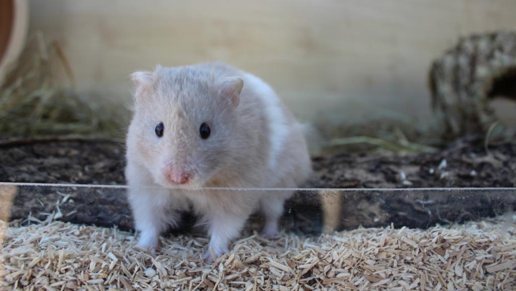 Streu beim Hamsterkäfig einrichten
