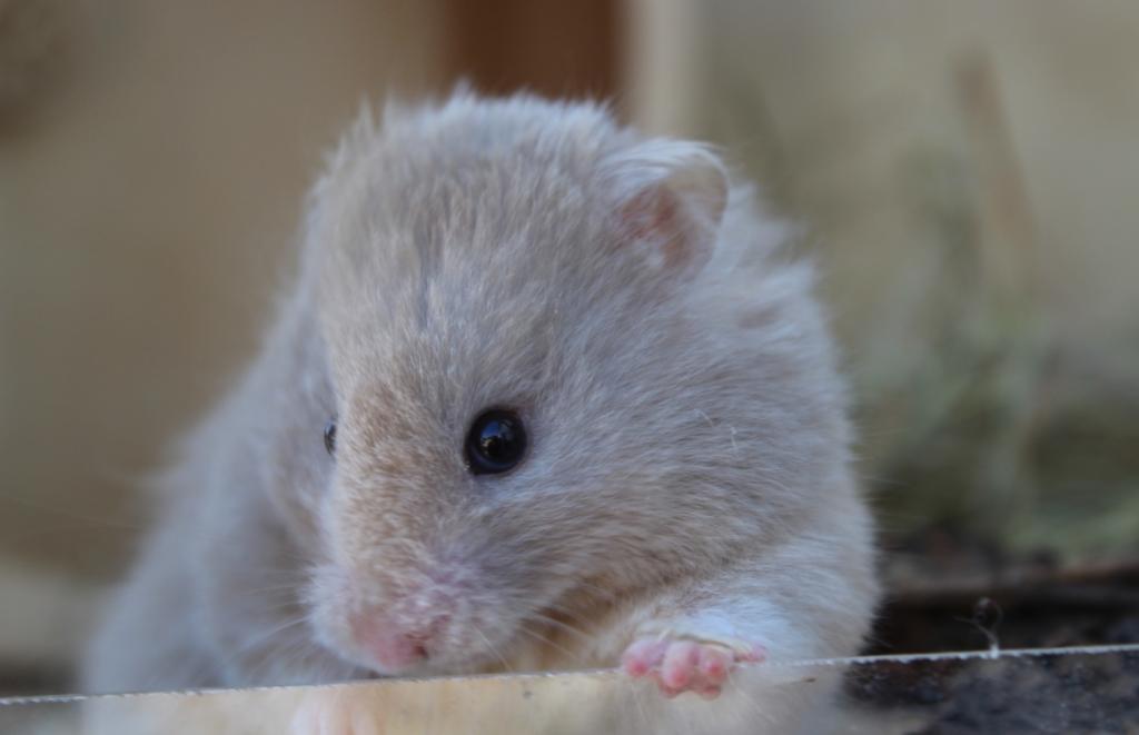 Junger Hamster beißt