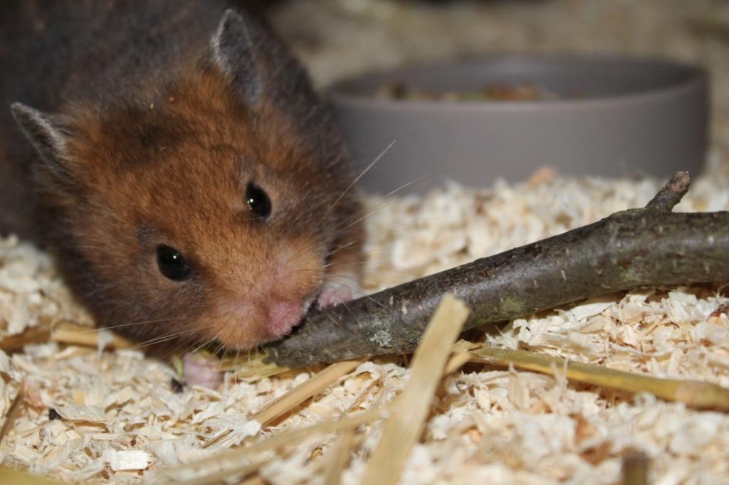 Zweige zum Zahnabrieb und zur Beschäftigung des Hamsters