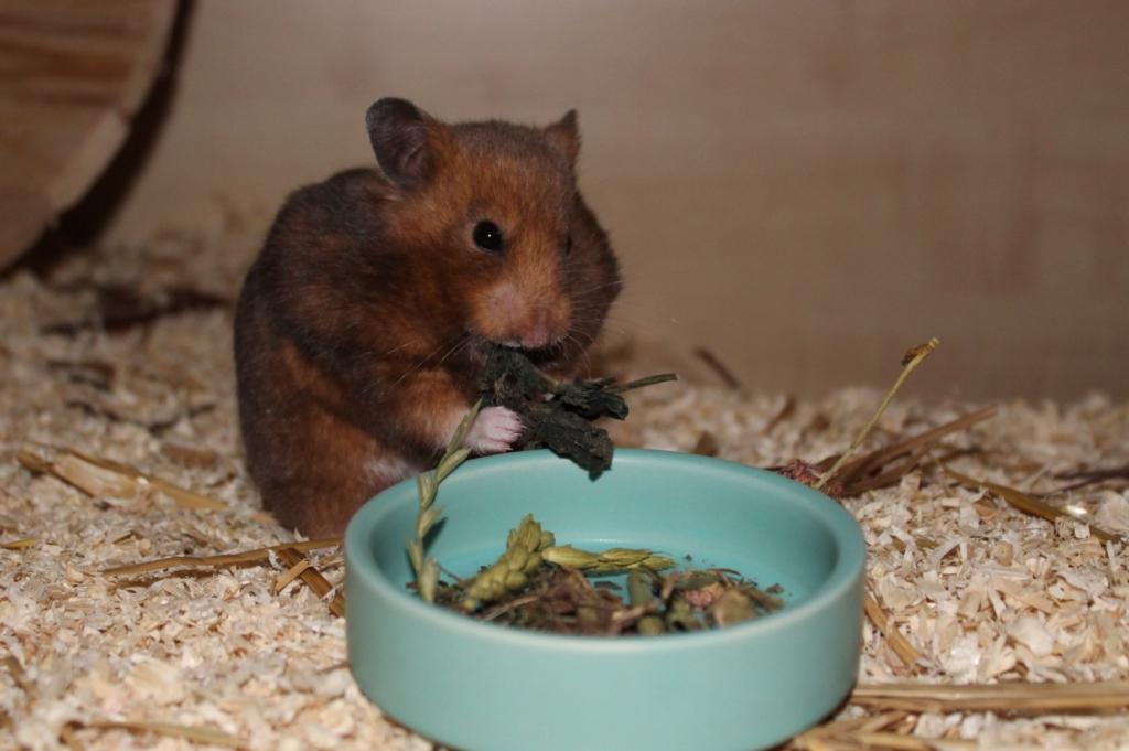 Kräuter für hohes Alter beim Hamster
