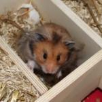 Milben beim Hamster erkennen und bekämpfen