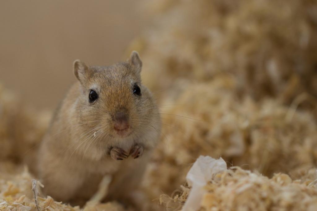 Mäuseart Wüstenrennmaus
