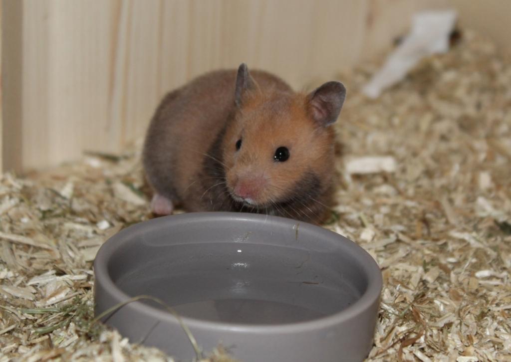 Wassernapf als Hamstertränke