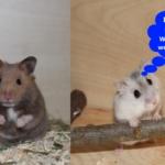 Wie alt werden Hamster - Die Lebenserwartung
